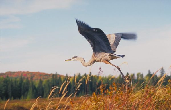 Great Blue Heron credit: Ontario Tourism