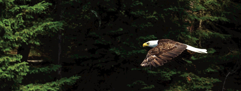 bald-eagle-photo-credit-ontario-tourism