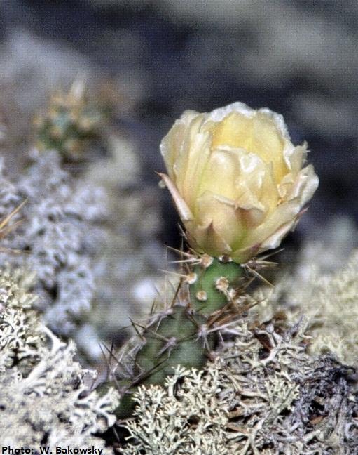 fragile-prickly-pear-cactus-wdb-sm