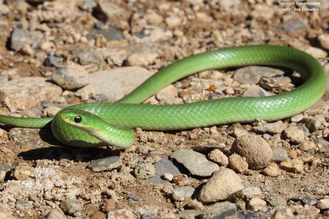 smooth-greensnake-j-crowley